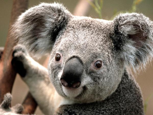 My koala rocking it out on stage